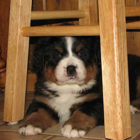 bernese puppy house