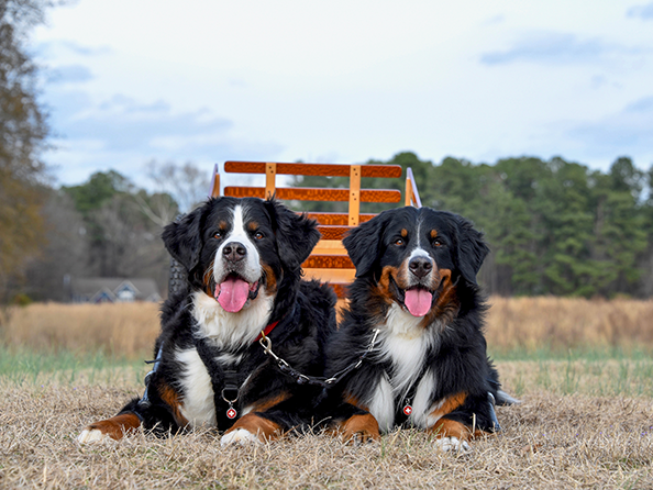 Bernese Mountain Dog Club Of America The Bmdca
