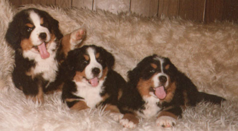 Bernese Mountain Dog Club Of America Bmdca Officers Board Of