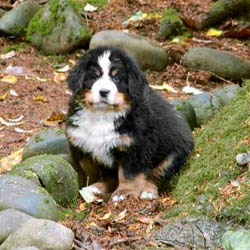 Bernese Mountain Dog Club Of America Bernese Puppies Faq